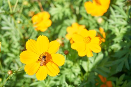 recoger: Abeja recoge el polen de la flor de la maravilla el árbol amarillo Foto de archivo