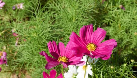 sulfur: Purple Sulfur Cosmos bloom under the sunlight Stock Photo