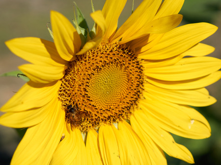 collect: Bee collect pollen on its body from yellow sunflower