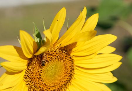 recoger: Abeja recoge el polen en su cuerpo de color amarillo girasol