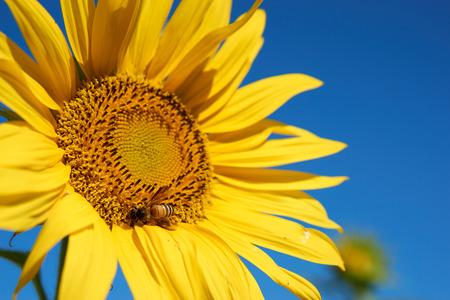 juntar: Abeja recoge el polen en su cuerpo de color amarillo girasol