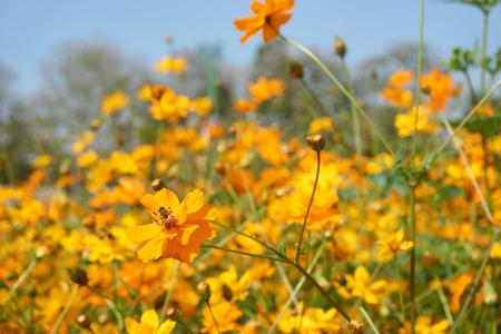 juntar: apropiaci�n de abeja y recoger el polen de azufre flor amarilla Cosmos