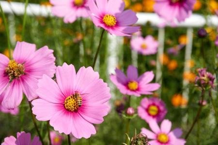 juntar: apropiaci�n de abeja y recoger el polen de flores de color rosa Cosmos azufre Foto de archivo