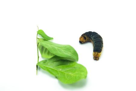 Caterpillar larva worm,nearly to be Chrysalis, on white background