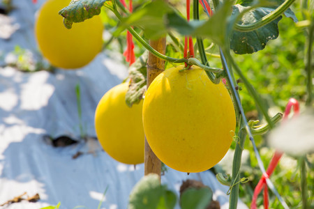 Melon cantaloupe in the farm. Stock Photo