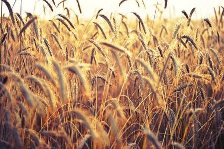 spikelets: Spikelets of wheat, illuminated by bright sunshine. Wheat field Stock Photo