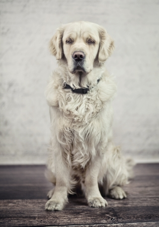 obedient: Obedient and calm dog waiting for its master