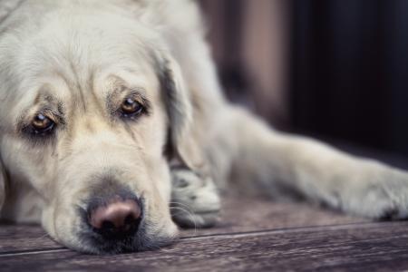 ojos tristes: Ojos tristes de perro luz grande