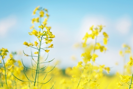 canola: Photo of canola flower and yellow field