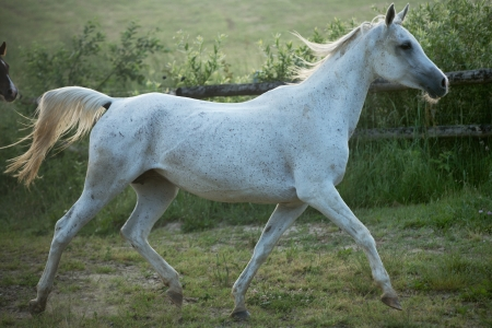 trotting: Great shoot of spotted white steed