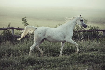 Spotted white horse in running pose photo