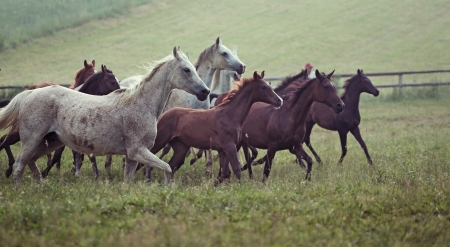 chestnut male: Photo of bevy wild horses on the meadow