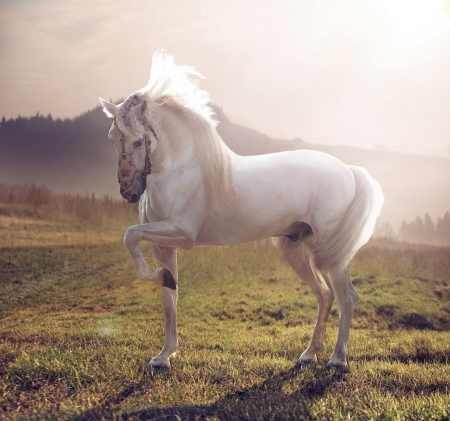Picture of majestic white arabian horse 版權商用圖片