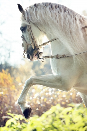Majestic royal white horse in move photo