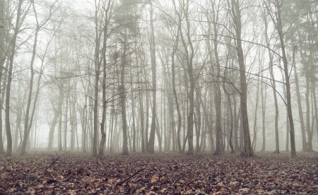 woodland scenery: Old forest during autumn foggy day