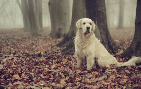 Golden retriever in colorful autumn forest photo