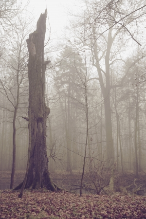 Old broken tree in autumn foggy day photo