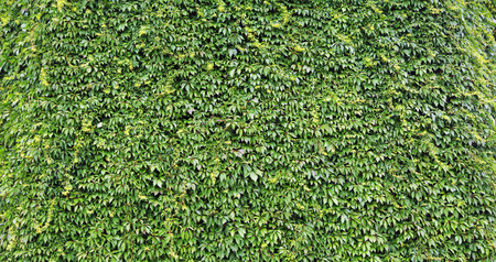 garden wall: Natural leaves wall in the summer garden Stock Photo