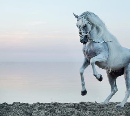 Majestueuze witte paard galopperen op het strand Stockfoto