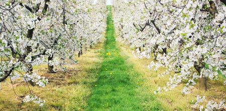 사과 과수원에서 녹색 골목