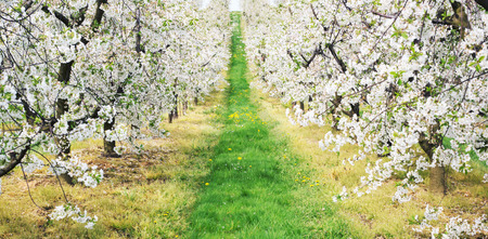 Green alley in the apple orchard