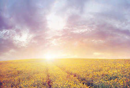 canola: Beautiful sunset over the yellow canola field