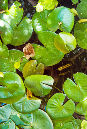 Green lily pads floating on creek