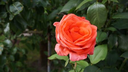 Blume rote Rose