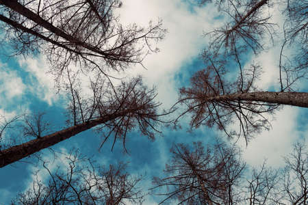 Bottom view of some pines and sky