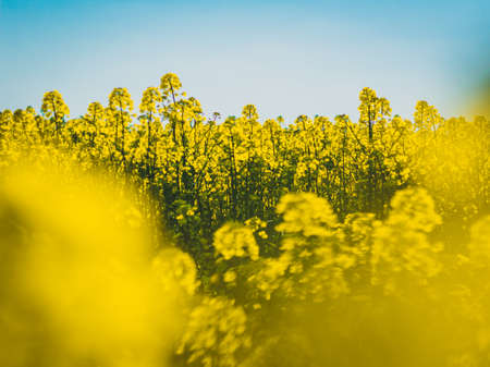 abstract photo of blooming rapeseed flowers Banco de Imagens