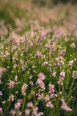 lavender coloured: Close up of wild purple heathers with very shallow depth of field. Stock Photo