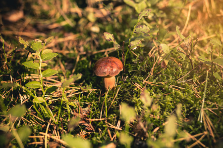 bolete: A small Bay Bolete mushroom soaked in the sunset light with shallow depth of field. Stock Photo