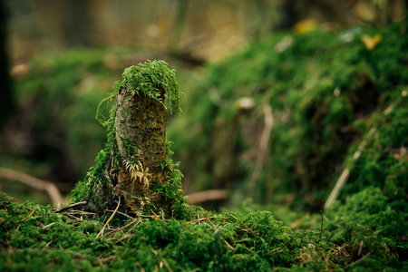 Close-up of tree stump overgrown with green moss. Photo with shallow depth of field.