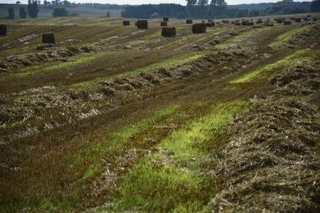 haymaking: Round haystacks on a green field,