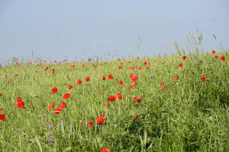 Classic Polish countryside, fields, meadows, lakes, hills, ponds, windmills, poppies, lavender. photo