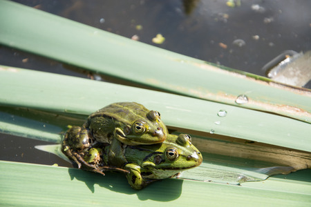 copulation: Pair frog sitting on a leaf in the mating season