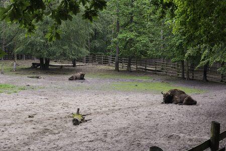 Bisons, demonstration farm, Wolin National Park, Miedzyzdroje Imagens