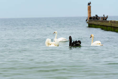 A black swan in its natural habitat, swimming in the sea among other water birds Standard-Bild
