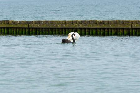 Black swan in natural habitat. Cygnus atratus Standard-Bild