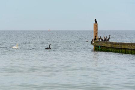 Black swan in natural habitat. Cygnus atratus