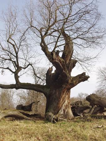 Age-old oak in Sacrow, near Potsdam in Germany. Stock Photo