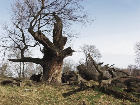 Age-old oak in February, in Sacrow near Potsdam, Germany.