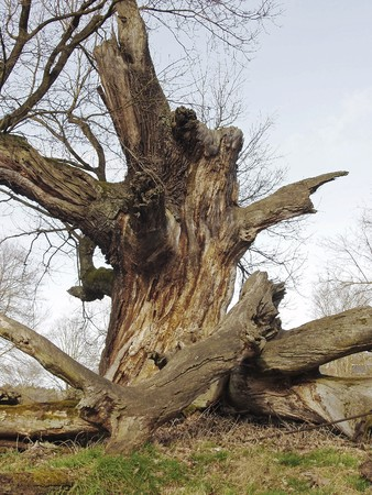 Residues of an ancient oak, Germany.