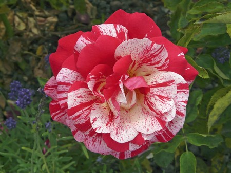 splendide: Splendide Rose, rouge-whitely agit�e.