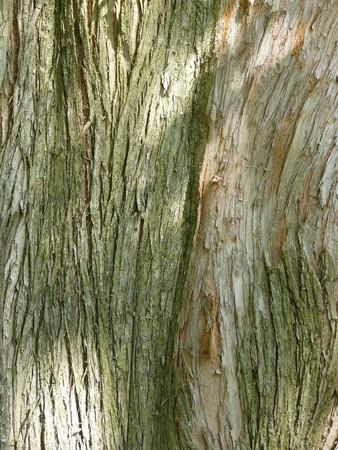 metasequoia: Bark of Dawn Redwood (Metasequoia)