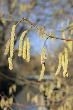 Male catkins of Common Hazel (Corylus avellana) in winter photo