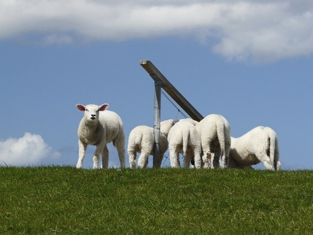 grassing: Lambs on a dyke on the Island of Sylt