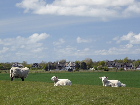 A sheep and two lambs on a dyke on the Island of Sylt photo