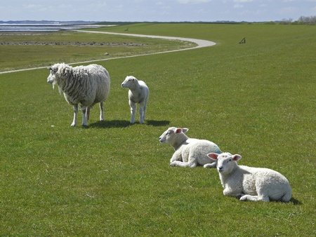 Sheep and lambs on a dyke on the Island of Sylt photo