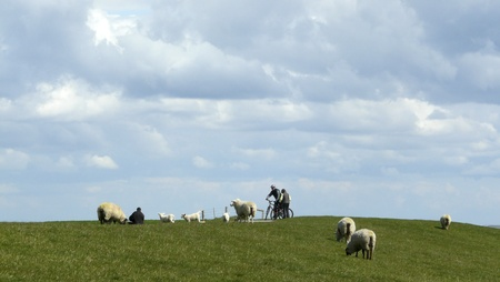 Sheep and cyclists on a dyke on the Island of Sylt photo